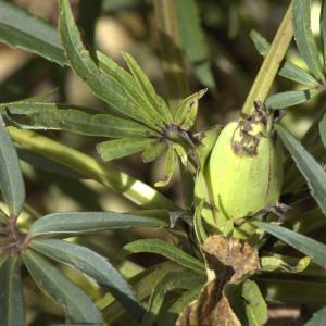 Photographie n°7515 du taxon Helleborus foetidus L.