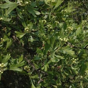 Photographie n°7716 du taxon Crataegus azarolus L. [1753]