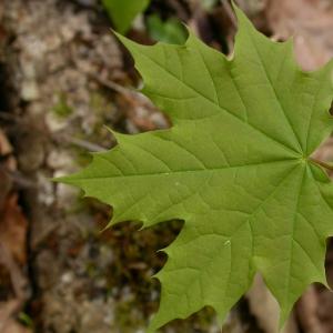 Photographie n°8992 du taxon Acer platanoides L.