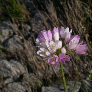 Photographie n°9013 du taxon Allium roseum L. [1753]