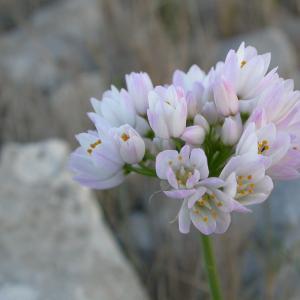 Photographie n°9014 du taxon Allium roseum L. [1753]