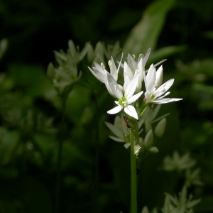 Photographie n°9016 du taxon Allium ursinum L.