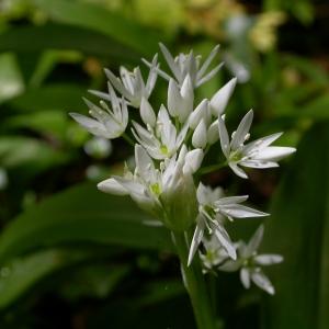 Photographie n°9017 du taxon Allium ursinum L. [1753]