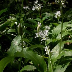 Photographie n°9018 du taxon Allium ursinum L.