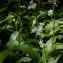 Julien BARATAUD - Allium ursinum L.