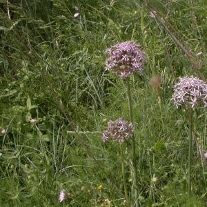 Photographie n°9019 du taxon Allium nigrum L.