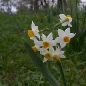 Photographie n°9052 du taxon Narcissus tazetta L. [1753]