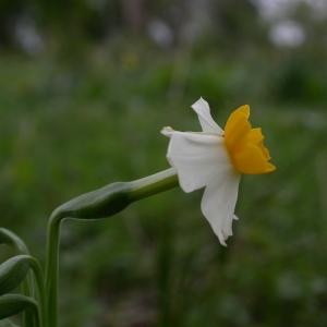 Photographie n°9053 du taxon Narcissus tazetta L. [1753]
