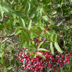 Photographie n°9058 du taxon Pistacia terebinthus L.