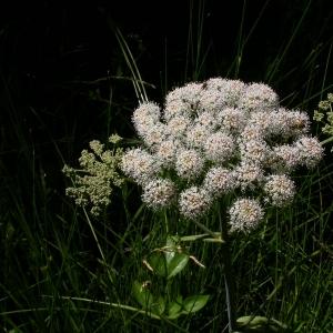 Photographie n°9072 du taxon Angelica sylvestris L.