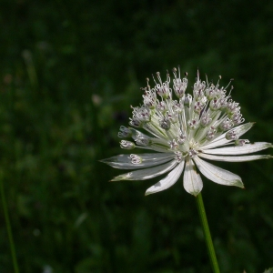 Photographie n°9077 du taxon Astrantia major L.