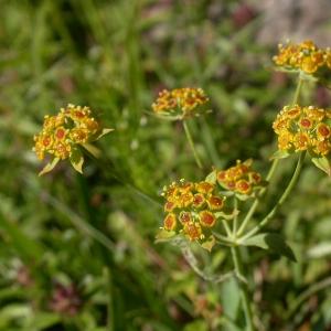 Bupleurum ranunculoides subsp. ranunculoides var. gramineum (Vill.) Lapeyr. ex Briq. (Buplèvre à feuilles de graminée)