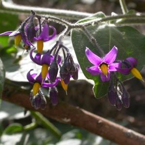 Photographie n°9135 du taxon Solanum dulcamara L. [1753]