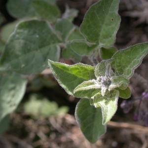 Photographie n°9136 du taxon Solanum dulcamara L. [1753]