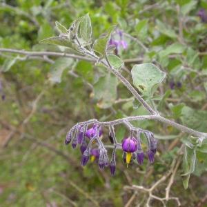 Photographie n°9137 du taxon Solanum dulcamara L. [1753]