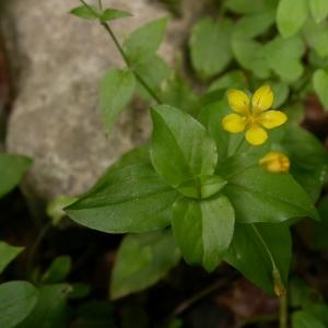 Photographie n°9206 du taxon Lysimachia nemorum L.
