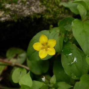 Photographie n°9207 du taxon Lysimachia nemorum L.