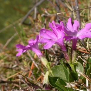 Photographie n°9213 du taxon Primula integrifolia L. [1753]