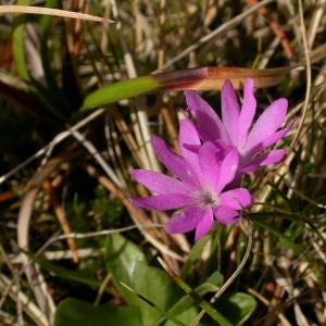 Photographie n°9214 du taxon Primula integrifolia L. [1753]