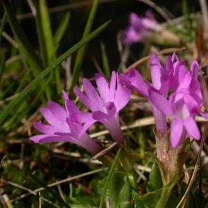 Photographie n°9215 du taxon Primula integrifolia L. [1753]