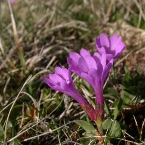 Photographie n°9217 du taxon Primula integrifolia L. [1753]