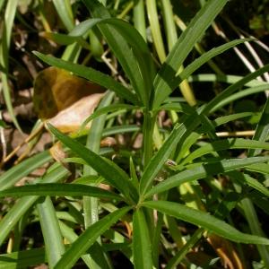 Photographie n°9260 du taxon Helleborus foetidus L.