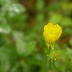 Photographie n°9268 du taxon Ranunculus sardous Crantz
