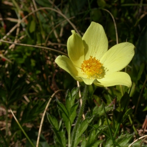 Photographie n°9286 du taxon Pulsatilla alpina subsp. apiifolia (Scop.) Nyman [1878]
