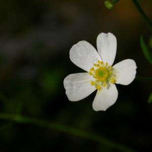 Photographie n°9295 du taxon Ranunculus aconitifolius L. [1753]