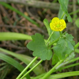 Photographie n°9297 du taxon Ranunculus bulbosus L. [1753]