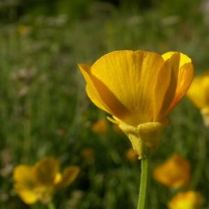 Photographie n°9298 du taxon Ranunculus bulbosus L. [1753]