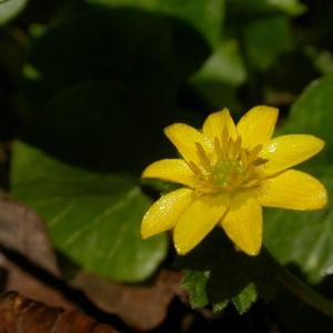 Photographie n°9299 du taxon Ranunculus ficaria L. [1753]