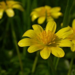 Photographie n°9300 du taxon Ranunculus ficaria L.