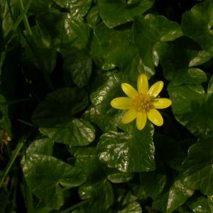 Photographie n°9301 du taxon Ranunculus ficaria L. [1753]