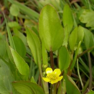 Photographie n°9309 du taxon Ranunculus ophioglossifolius Vill.