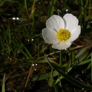 Photographie n°9310 du taxon Ranunculus pyrenaeus L.