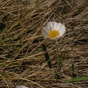Photographie n°9312 du taxon Ranunculus pyrenaeus L.