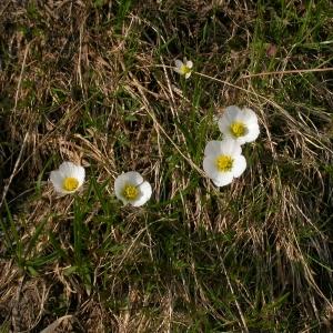 Photographie n°9314 du taxon Ranunculus pyrenaeus L.