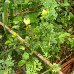 Photographie n°9316 du taxon Ranunculus sardous Crantz