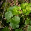 Julien BARATAUD - Chrysosplenium alternifolium L.