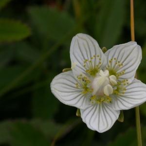 Photographie n°9455 du taxon Parnassia palustris L. [1753]