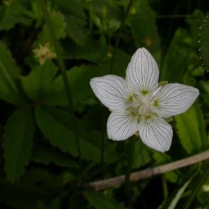 Photographie n°9457 du taxon Parnassia palustris L. [1753]
