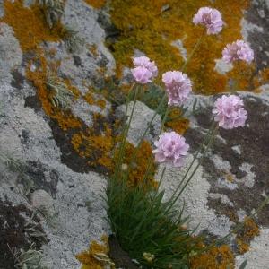 Photographie n°9474 du taxon Armeria maritima Willd.