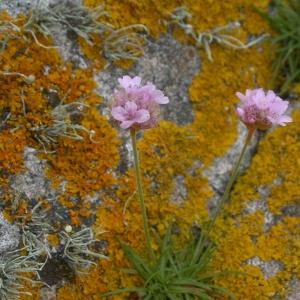 Photographie n°9475 du taxon Armeria maritima Willd.