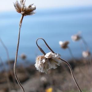 Photographie n°9478 du taxon Armeria maritima Willd.