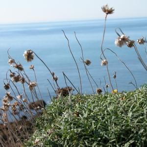 Photographie n°9479 du taxon Armeria maritima Willd.