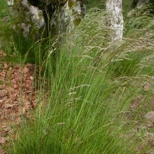 Photographie n°9528 du taxon Deschampsia flexuosa (L.) Trin. [1836]