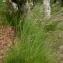 Julien BARATAUD - Deschampsia flexuosa (L.) Trin. [1836]
