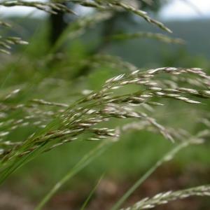 Avenella flexuosa (L.) Drejer (Canche flexueuse)