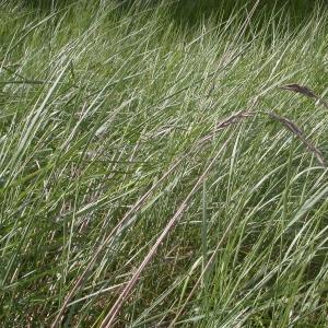 Photographie n°9532 du taxon Elymus pycnanthus (Godr.) Melderis